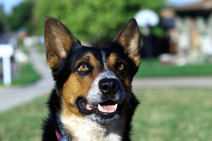 cane con denti di fuori