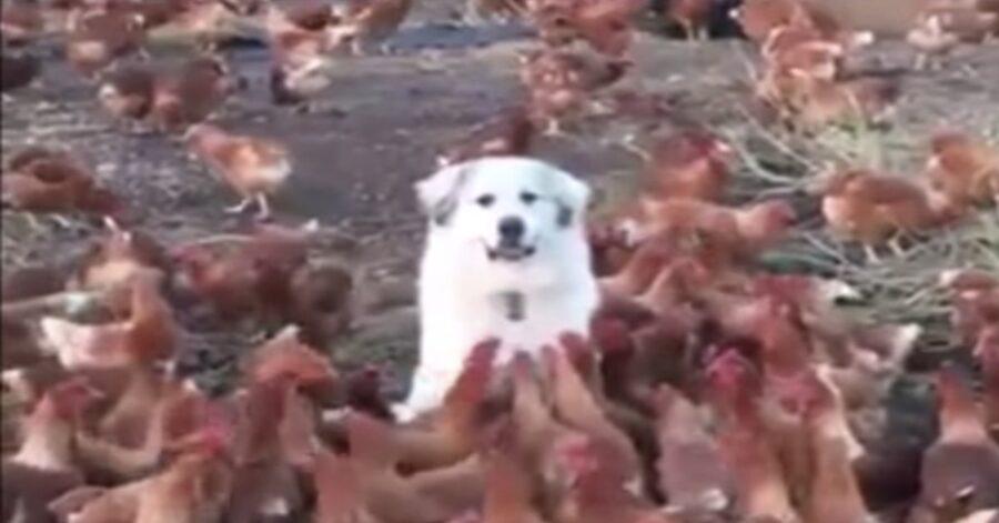 Pastore dei Pirenei in mezzo a tante galline marroni