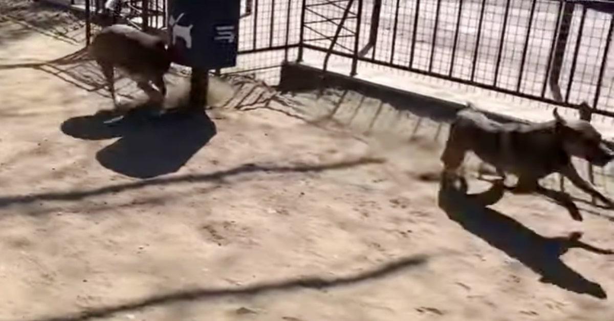 due cani giocano in aerea sgambatura