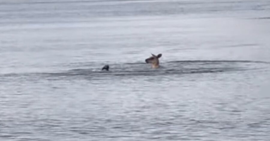 canguro e cane si picchiano nel lago