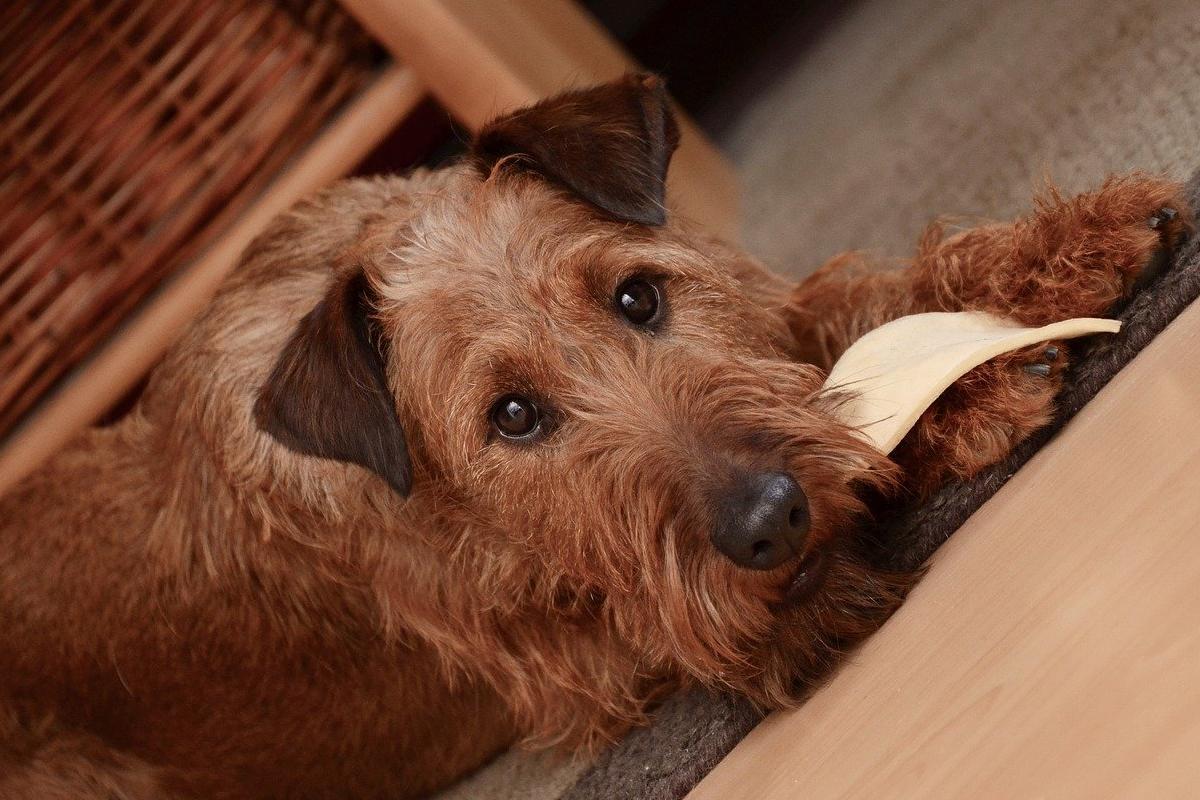 cane marrone che mastica un oggetto