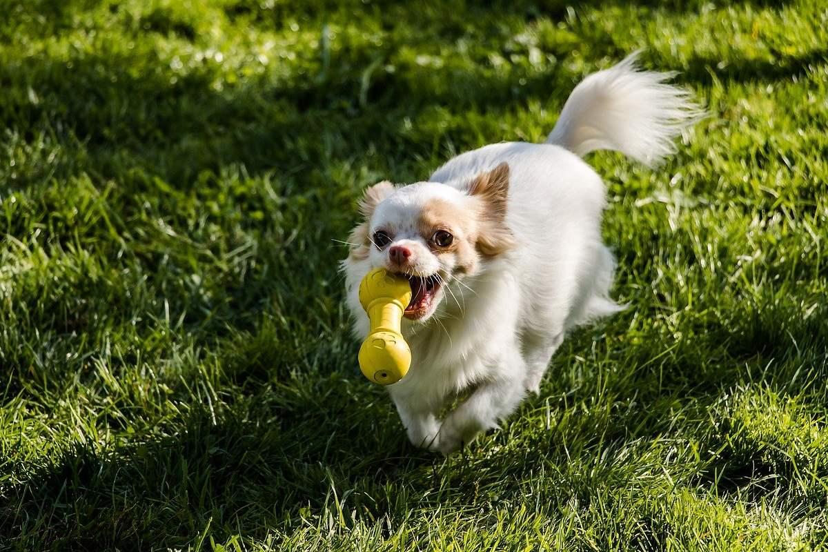 cane che corre con un giocattolo in bocca