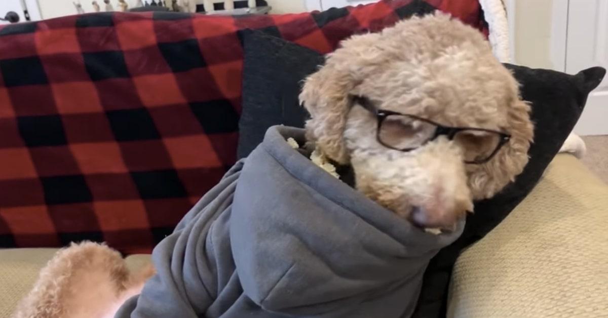 Goldedoodle con gli occhiali mangia il popcorn