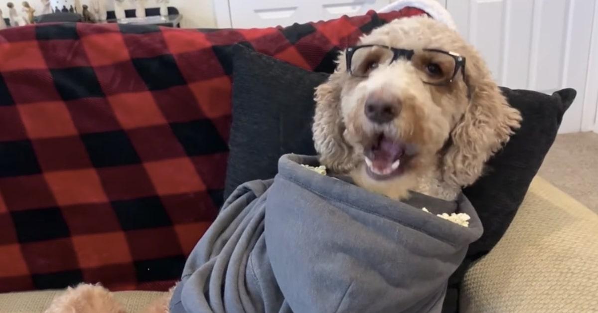 Goldendoodle con felpa e occhiali mangia popcorn