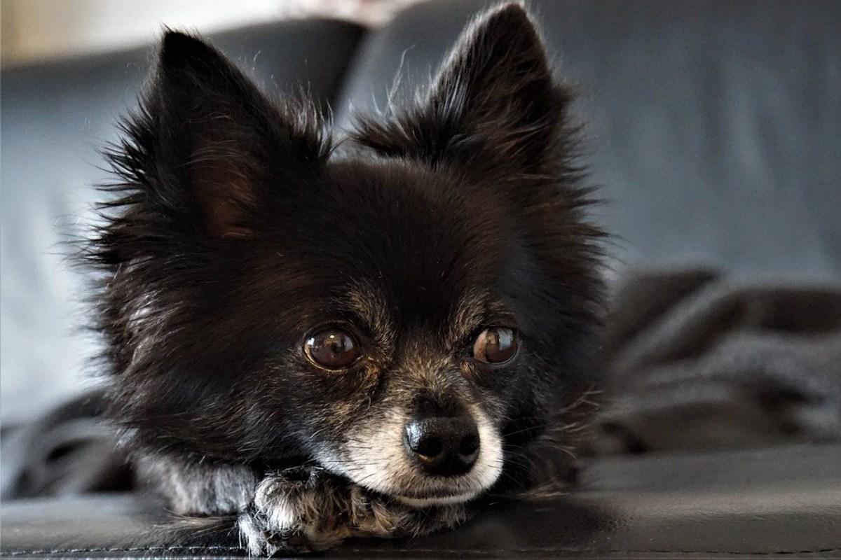 chihuahua a pelo lungo di colore nero