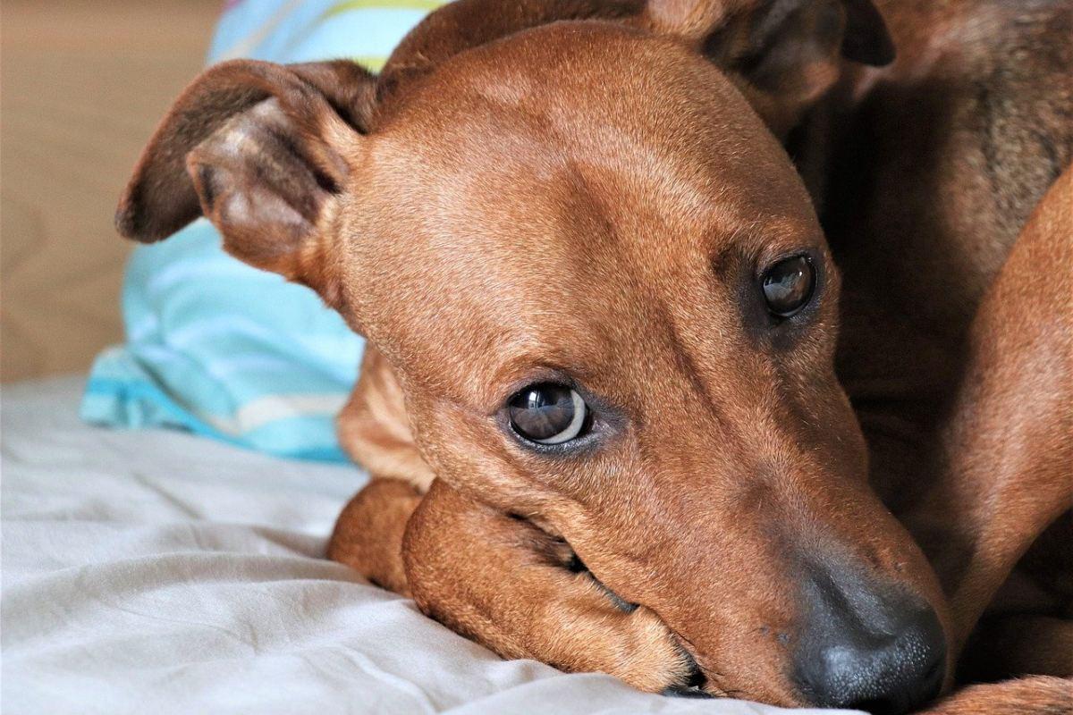 cane marrone che dorme sul letto