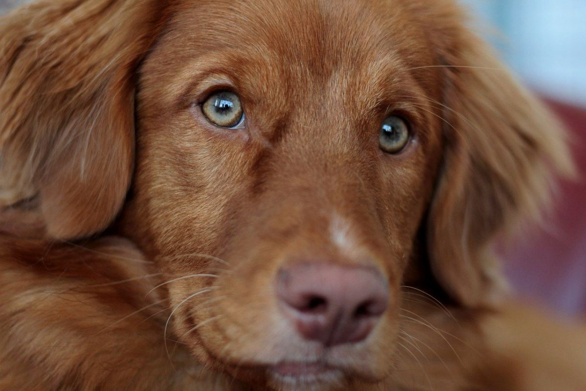 cane marrone con gli occhi azzurri