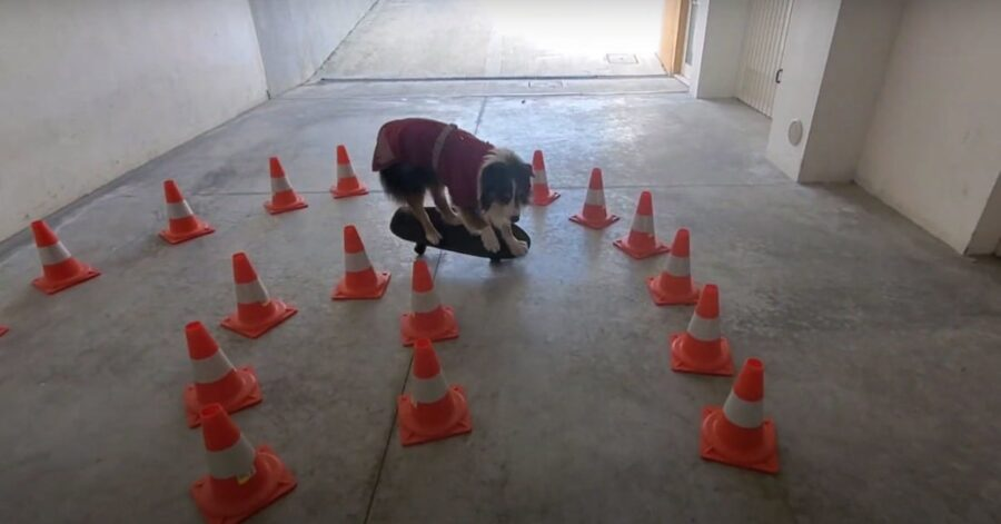 cane esegue percorso birilli in skateboard