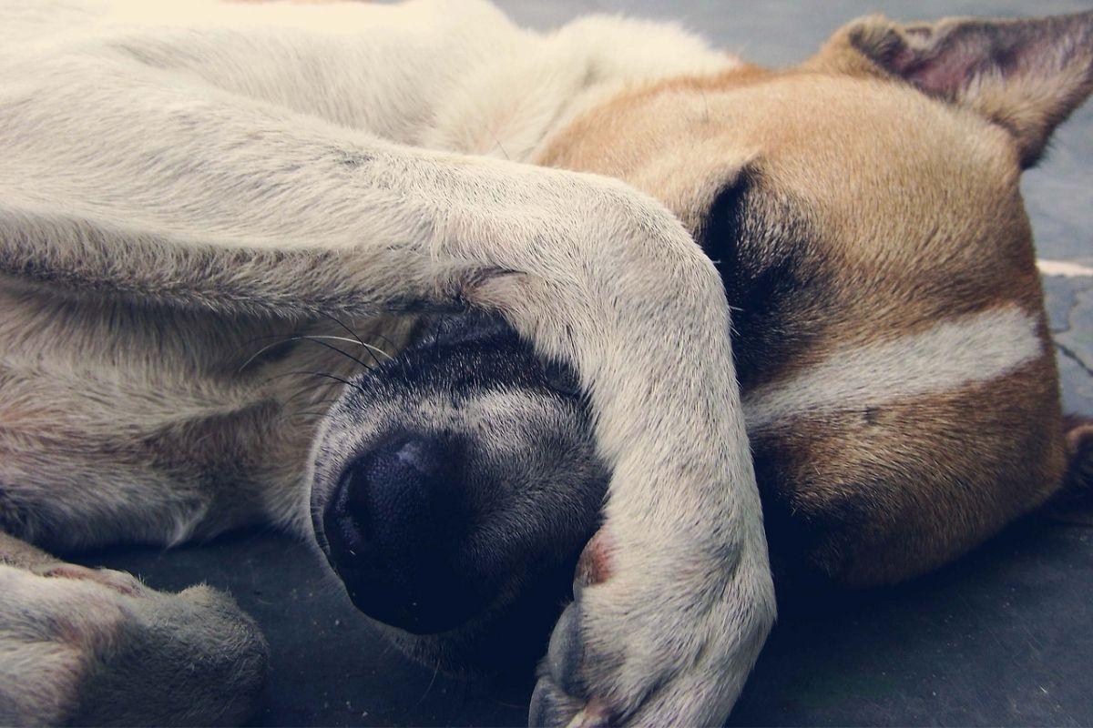 cane copre il viso con la zampa