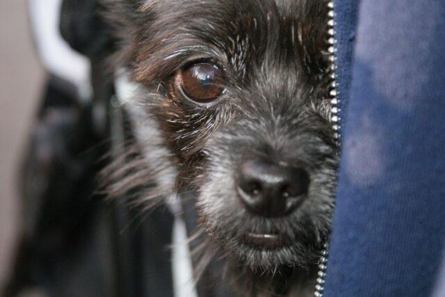 cane nasconde un occhio dietro ad una maglia