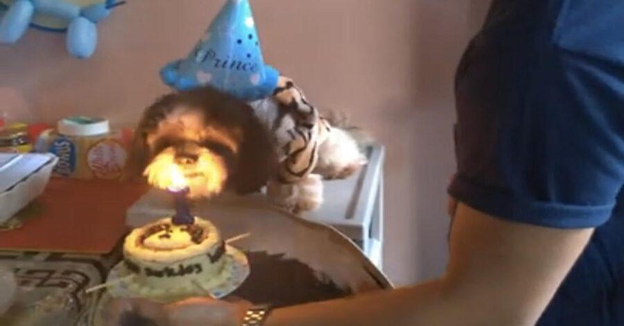 Shih Tzu spegne candelina sulla torta
