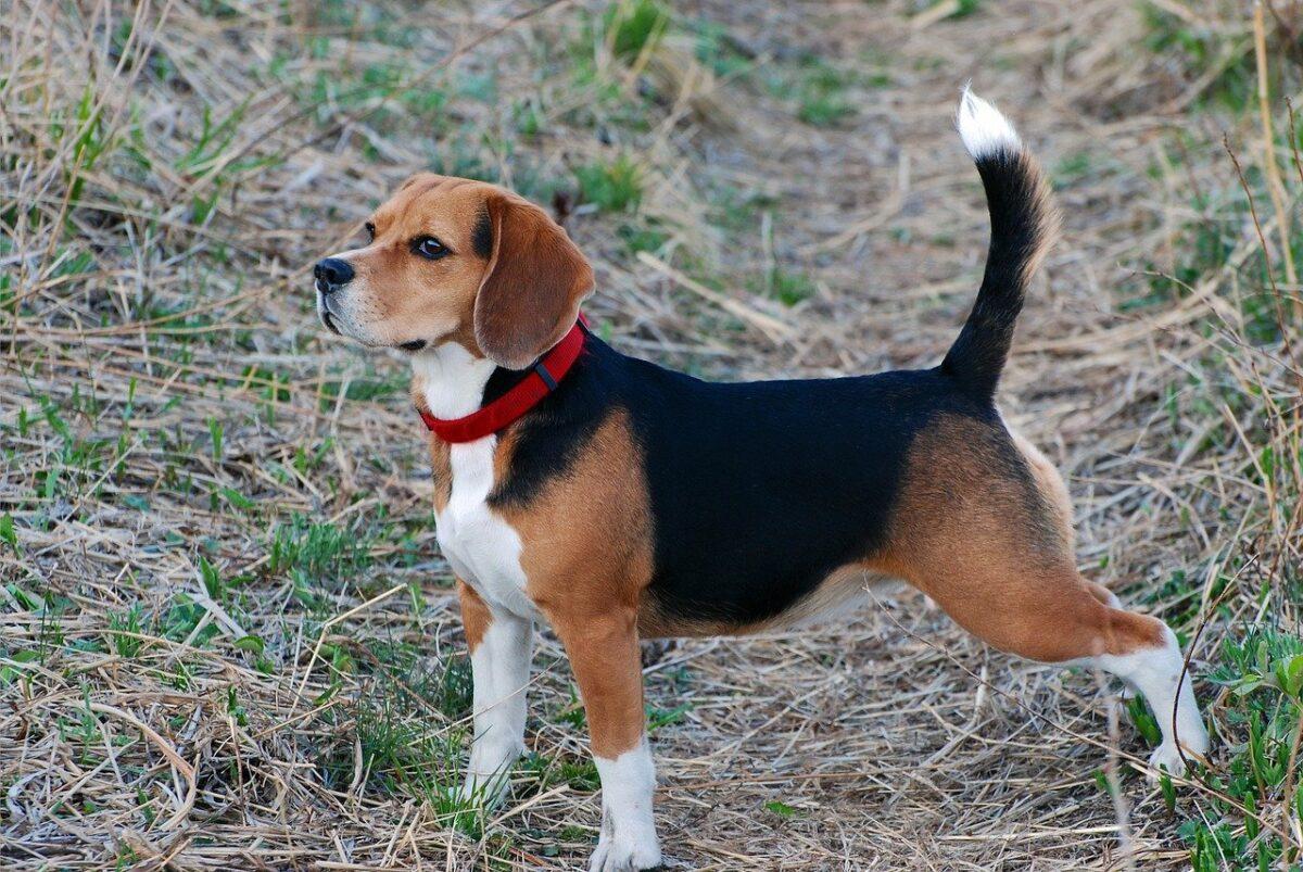 beagle al parco