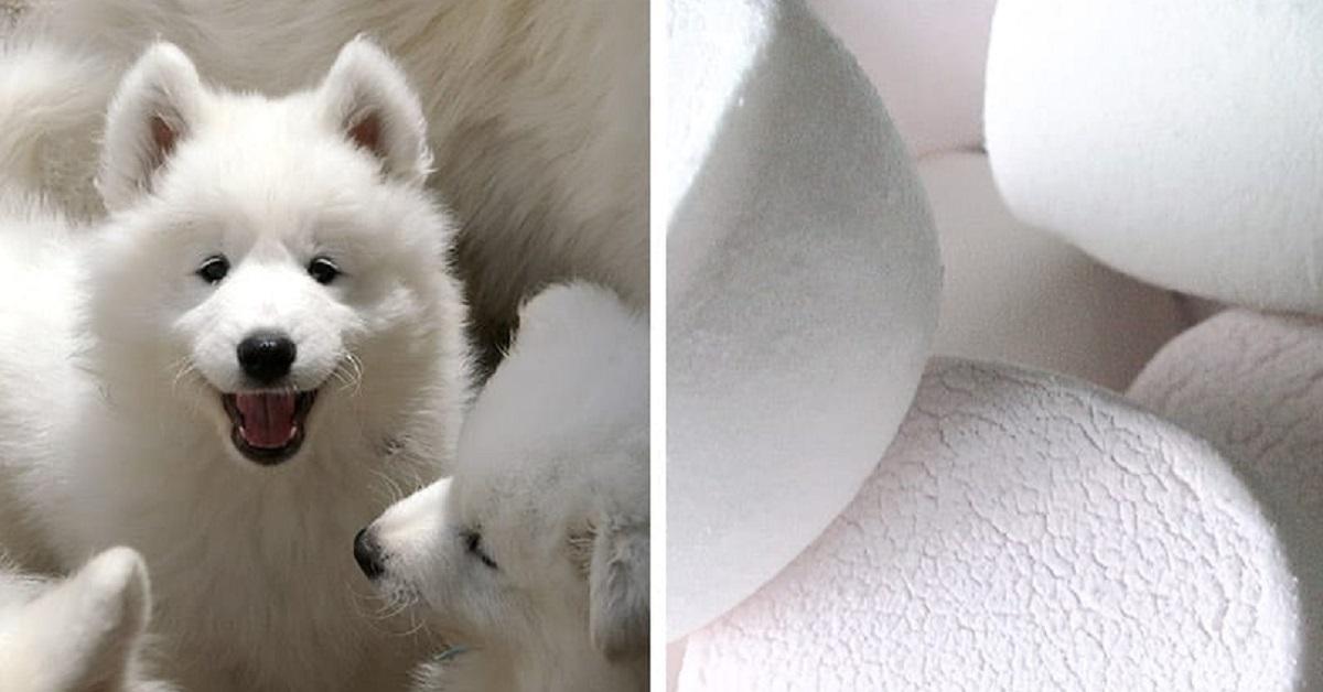 Cani Samoiedo: le 10 foto che dimostrano il fatto che questi cagnolini sono dei marshmallow