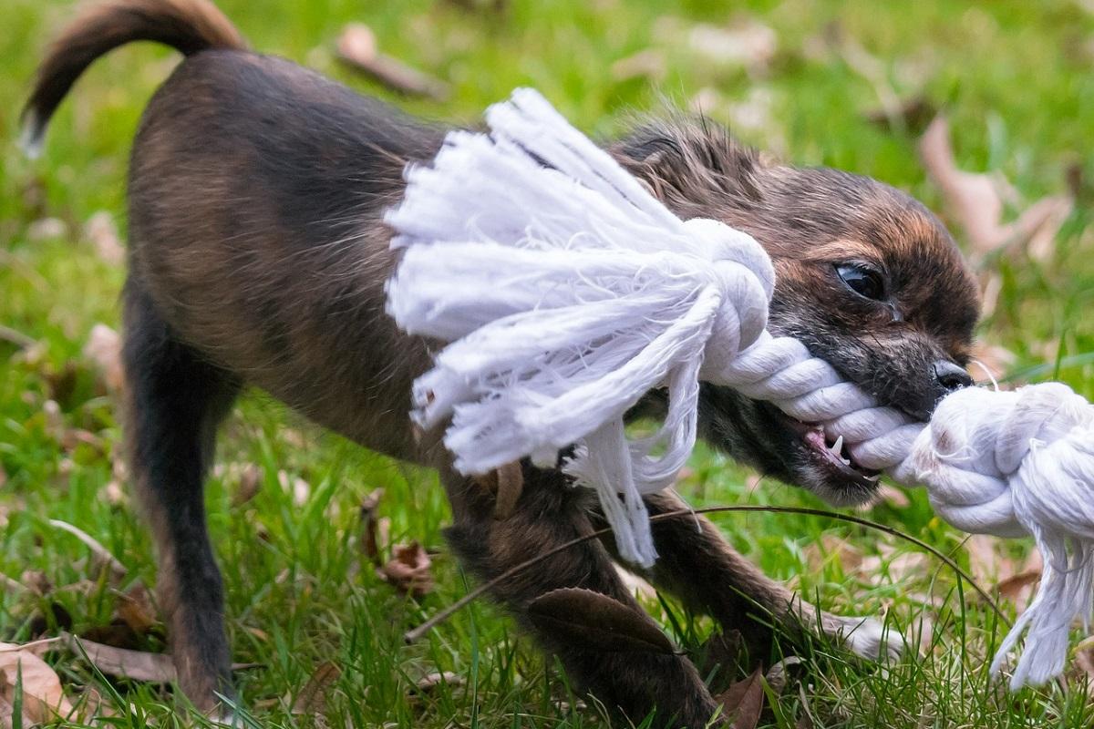 cane gioca con corda