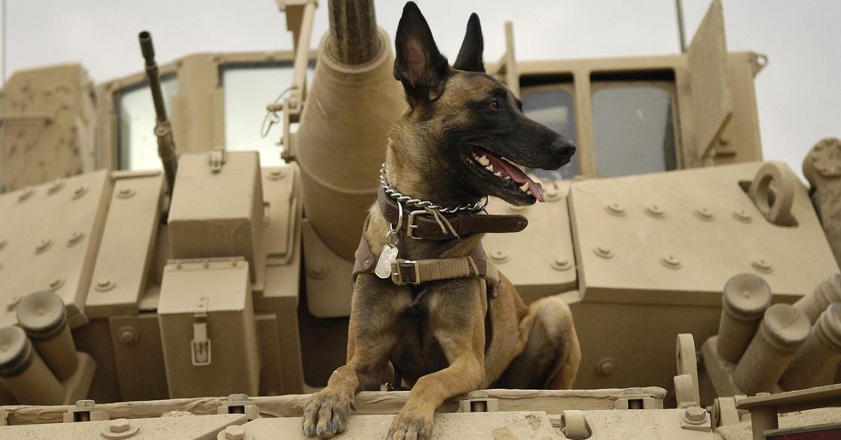 cani militari-carroarmato
