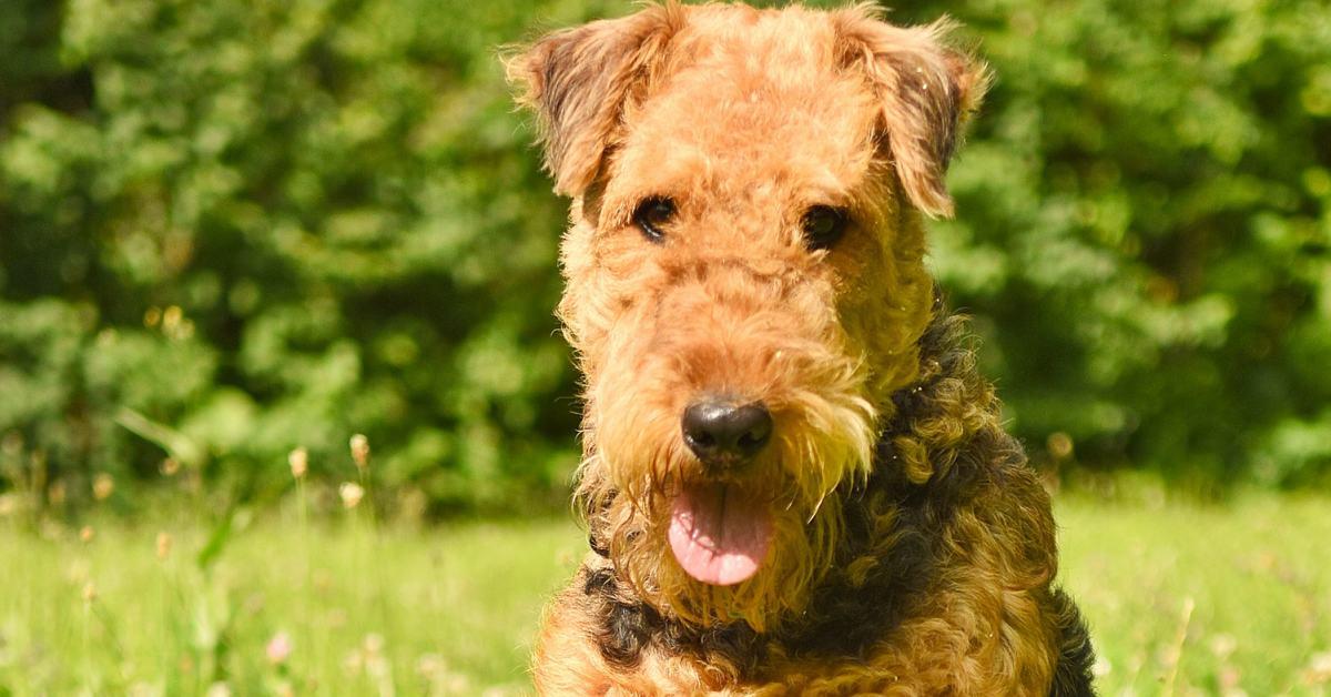 cane di razza airedale terrier