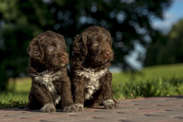 cuccioli di cane marroni