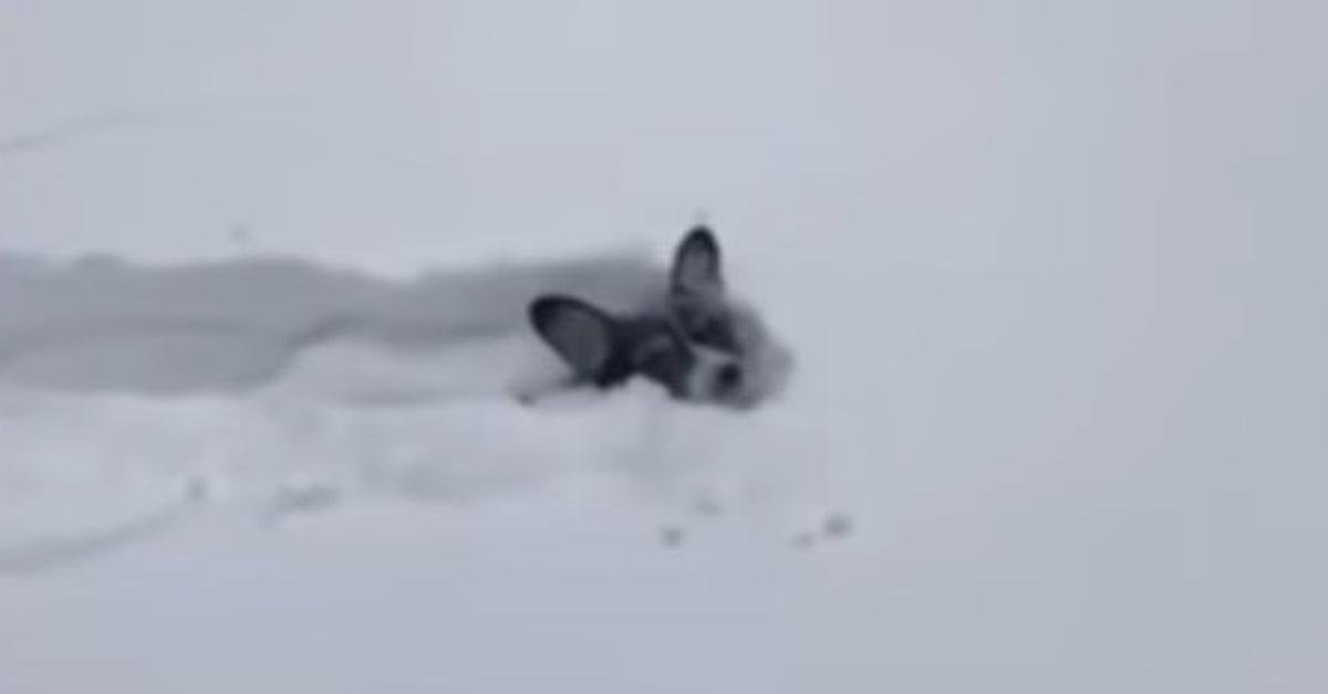 Corgi fa un tunnel nella neve
