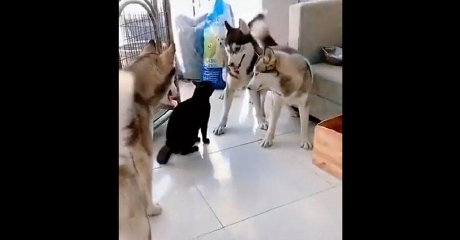 Cuccioli di Siberian Husky si fanno comandare a bacchetta da un gatto