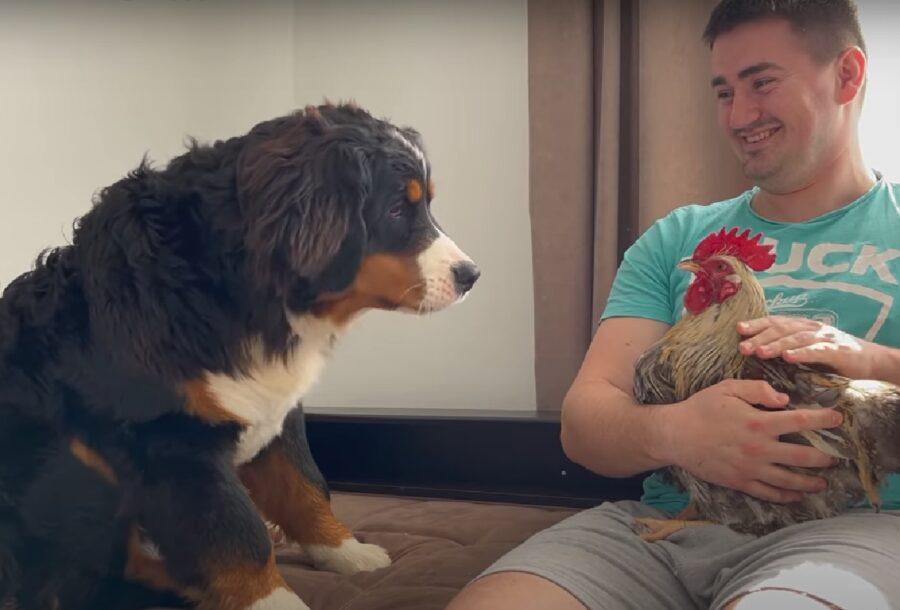 Cucciolo Bovaro del Bernese è geloso del gallo, il video è strabiliante