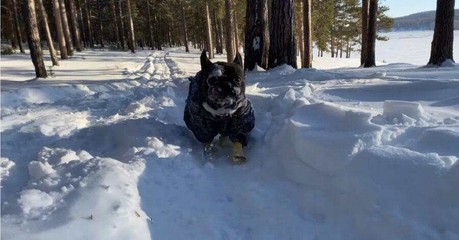 Cucciolo di Bulldog francese fa una passeggiata sulla neve