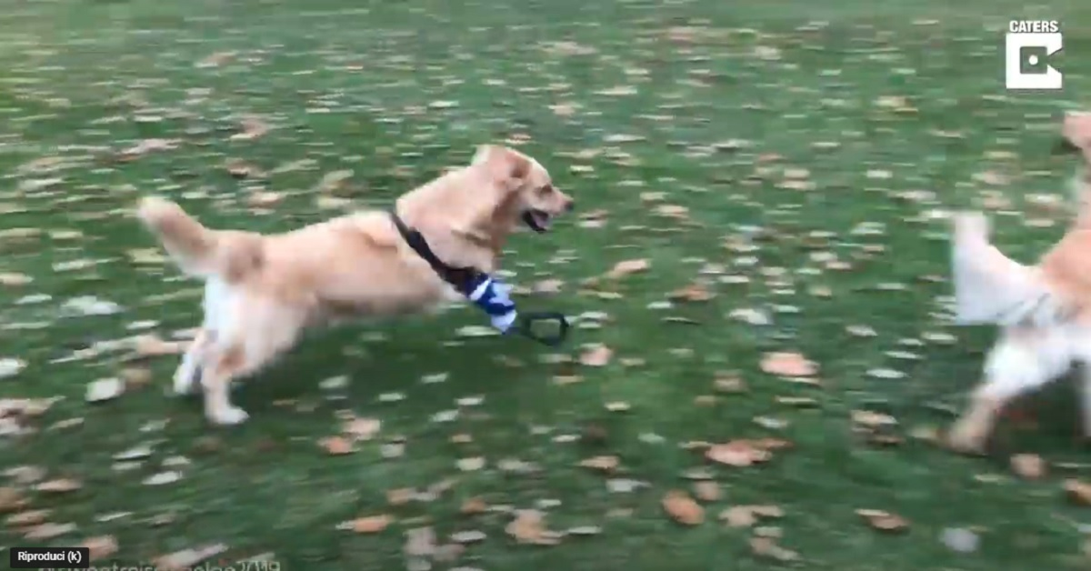 cucciolo di Golden Retriever con la zampetta bionica