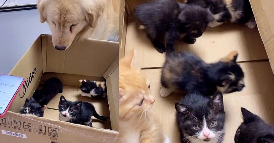 cucciolo di Golden Retriever incontra i gattini adottivi