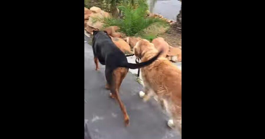 Cucciolo di Golden Retriever che insegna a un altro cane ad andare al guinzaglio