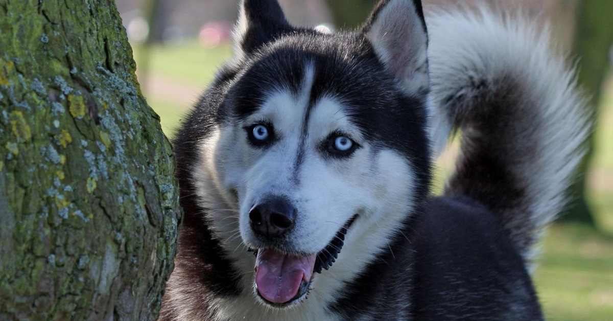 cucciolo di Husky che ha imparato a dire si e no