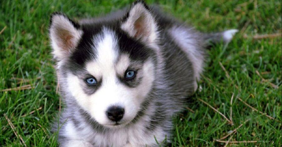 cucciolo di Siberian Husky va al fiume per la prima volta