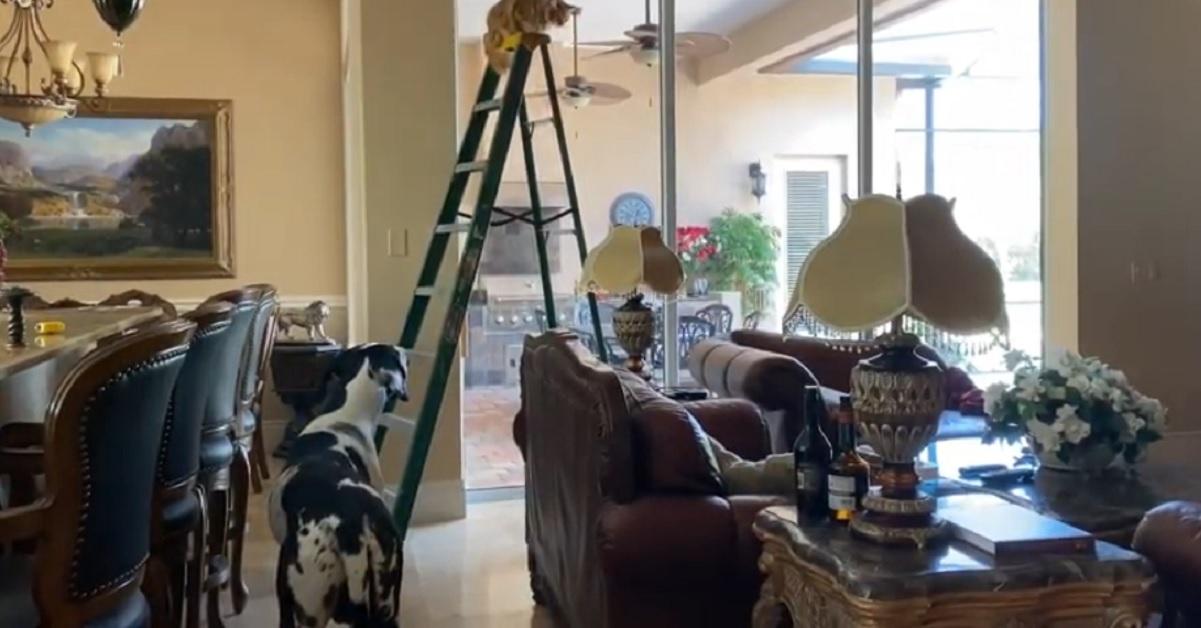 cucciolo di alano controlla il gattino arrampicato sulla scala