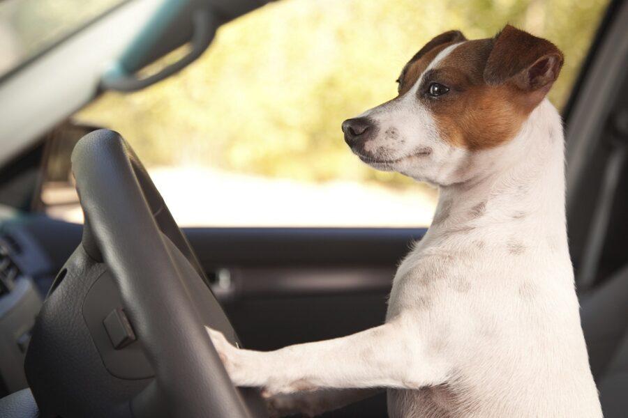 Il cucciolo di cane non sale in macchina: come rimediare?