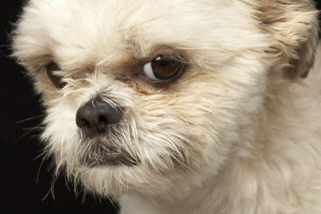 cucciolo di cane sembra arrabbiato