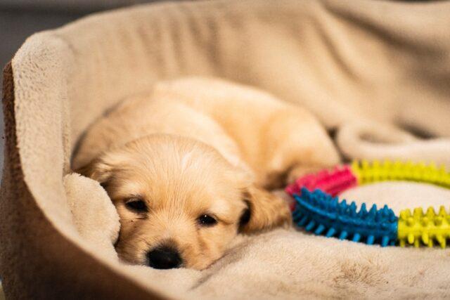 cucciolo di cane che si sta addormentando