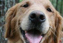 cucciolo di golden retriever che è geloso di un orsacchiotto
