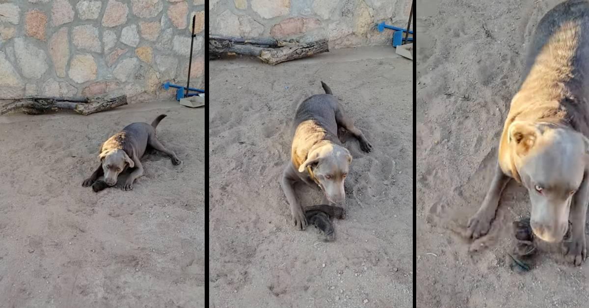 labrador silver cucciolo
