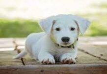 cucciolo labrador bianco