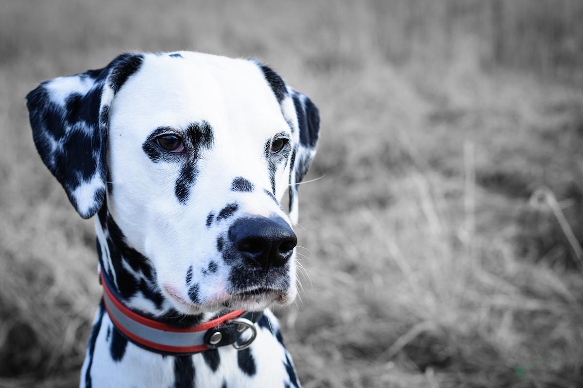 Dalmata, quanti cuccioli possono avere questi cani?