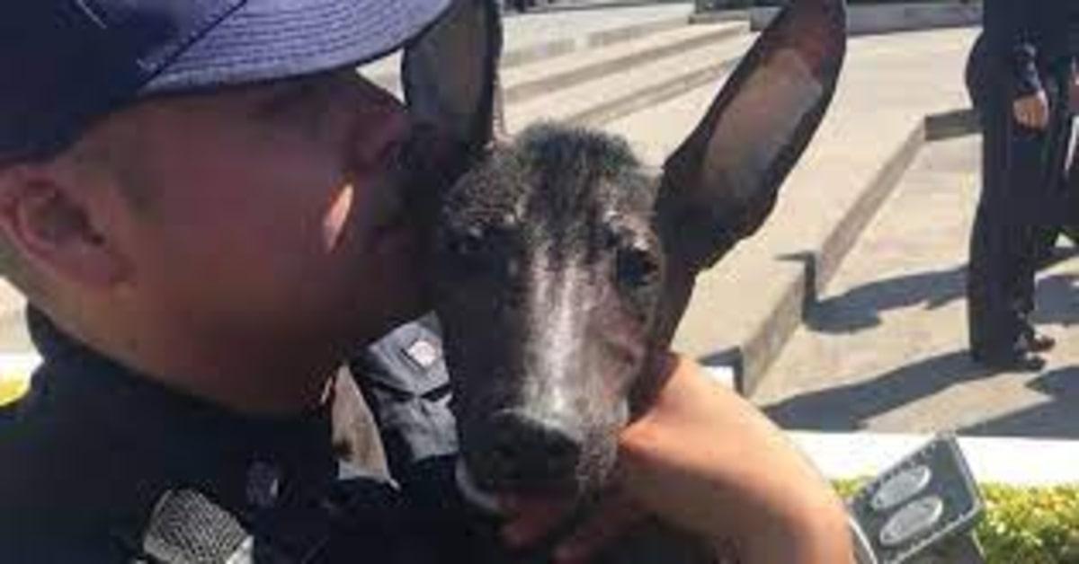 Dante, l'unico cucciolo di cane messicano senza pelo che fa parte della Polizia del Messico (VIDEO)
