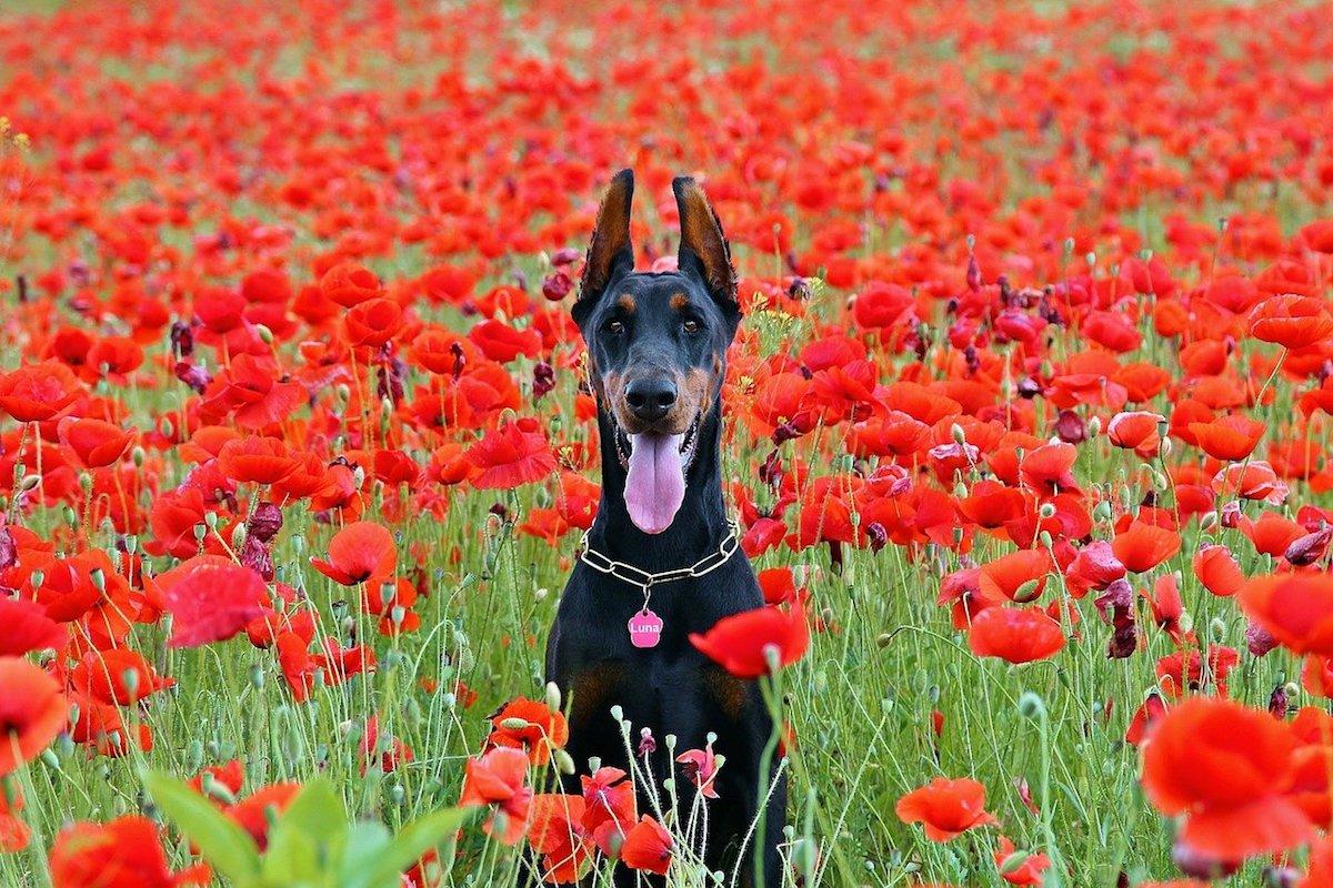 dobermann in campo di fiori