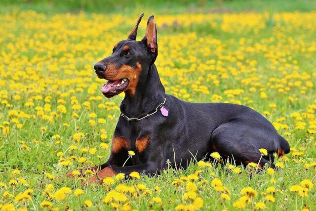 dobermann in campo fiorito