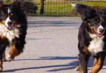 due cuccioli bovaro del bernese si incontrano dopo 3 anni video