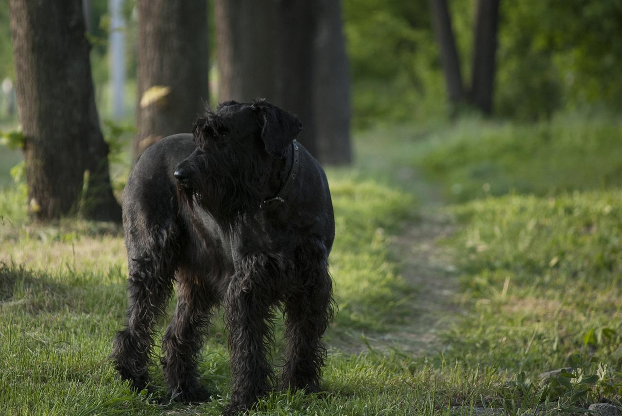 Razze di cani che darebbero la vita- Schnauzer gigante