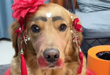 golden retriever con make up