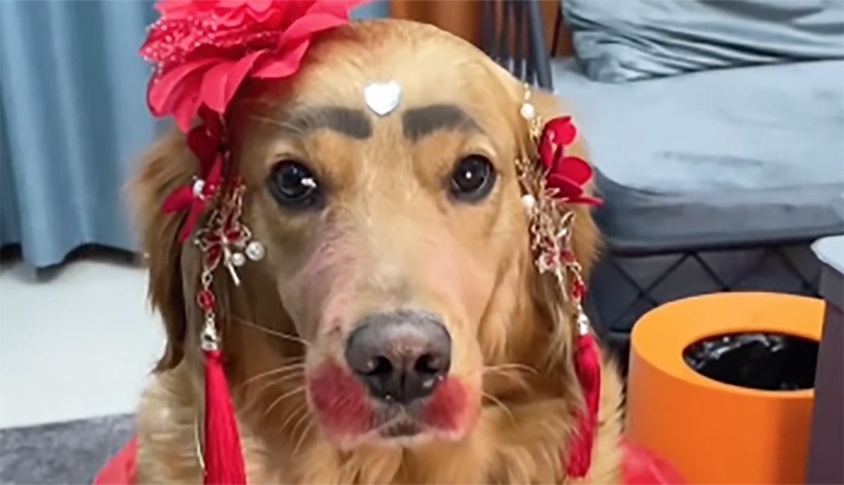 golden retriever con make up