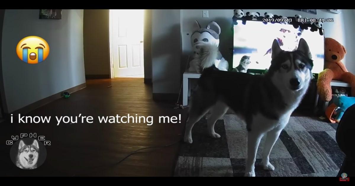 Husky disperato lasciato solo in casa
