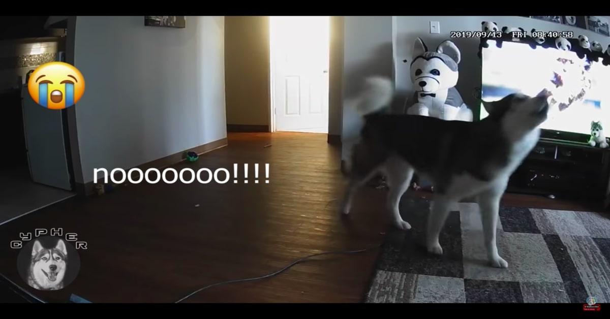 Husky piange perchè la padrona lo ha lasciato solo