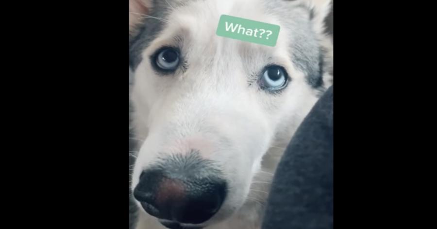 Un cucciolo di Husky ha uno strano comportamento quando la sua mamma umana gli parla della fine della quarantena (VIDEO)