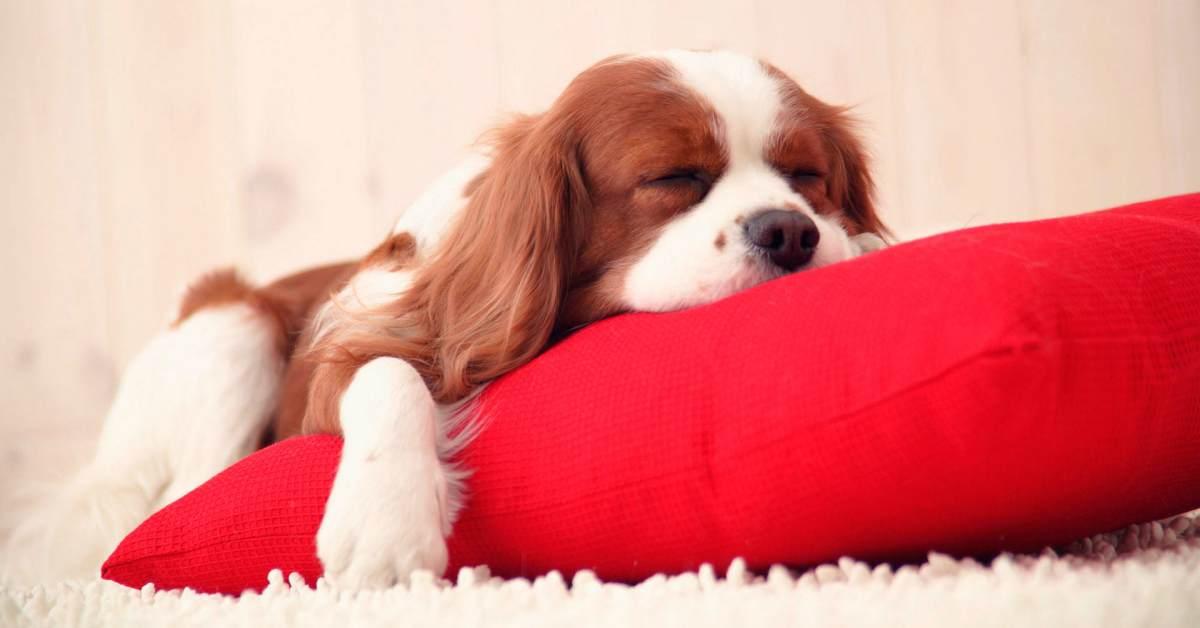 cocker spaniel che dorme su un cuscino rosso