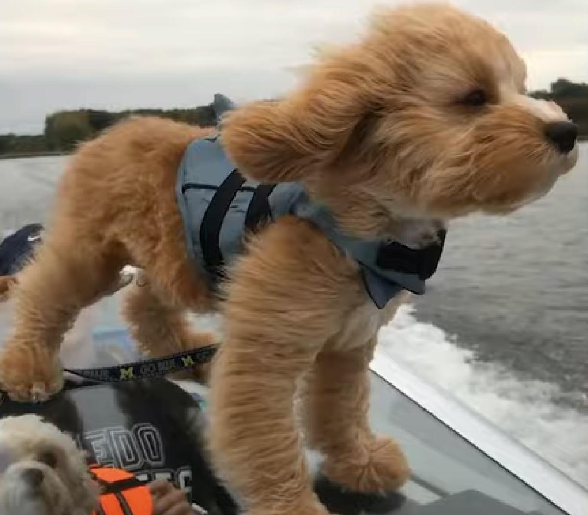 paddington cucciolo barboncino grand rapids